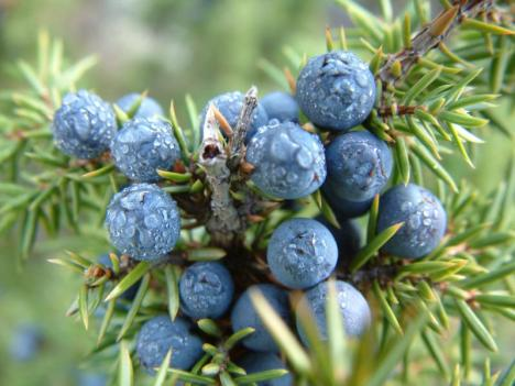 J is for Juniper-berry