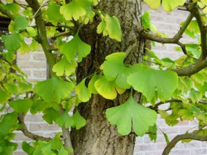 Ginkgo-Biloba tree leaves